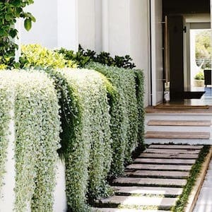 Manicured live fence along pathway