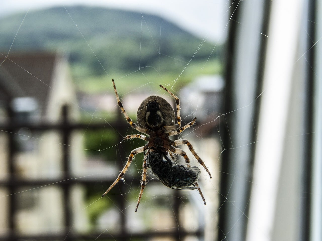 Home pest - spider on web